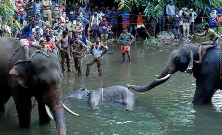 Elefante ucciso con ananas pieno di petardi