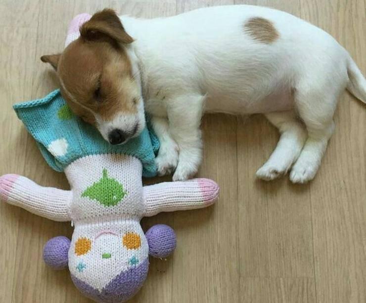 Adottare un cucciolo di Jack Russell Terrier