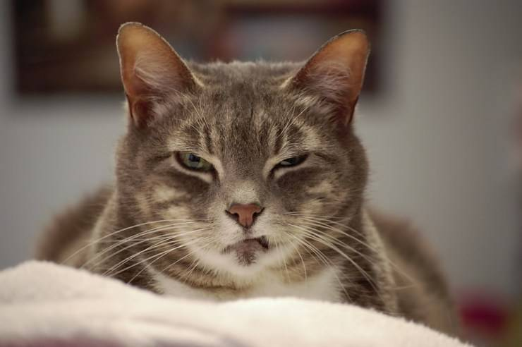 Perché il gatto attacca il suo padrone e quando può essere pericoloso?