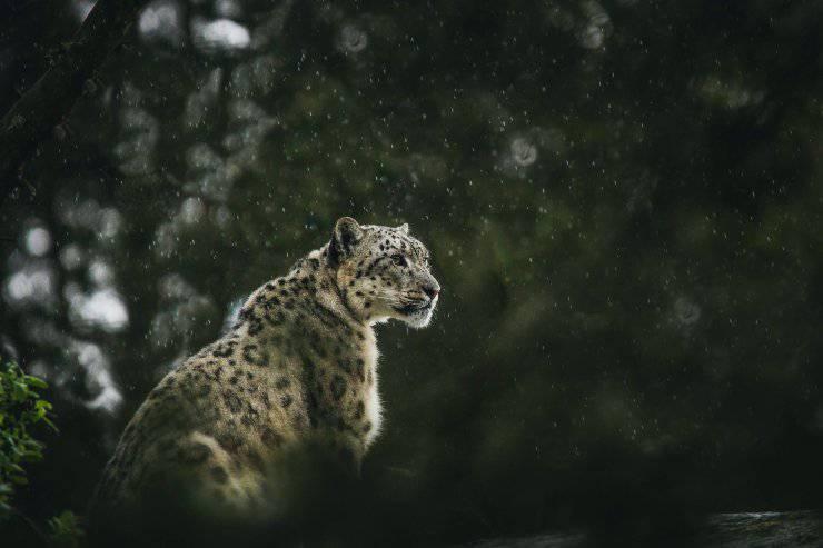 Curiosità sui grandi felini