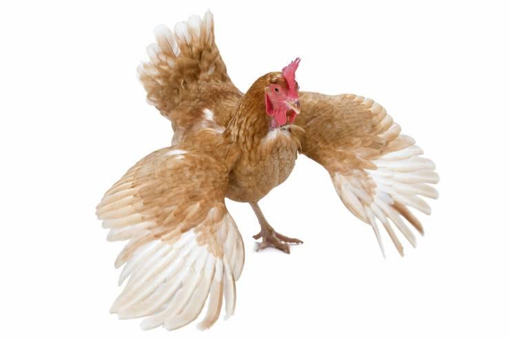 La gallina vola o no