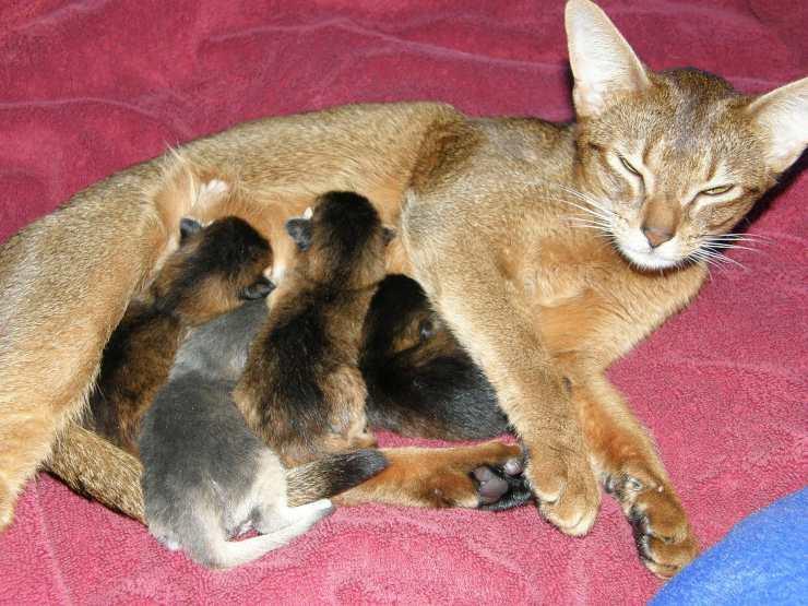 gatta che allatta