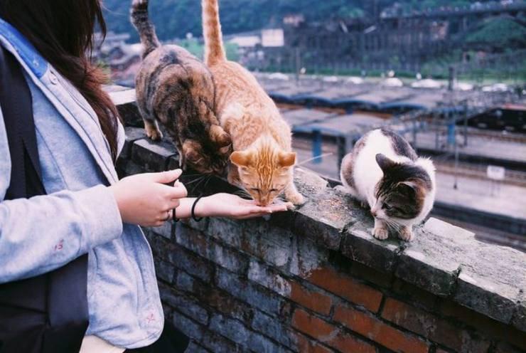 Il gatto può mangiare liquirizia? Rischi e benefici di questo alimento