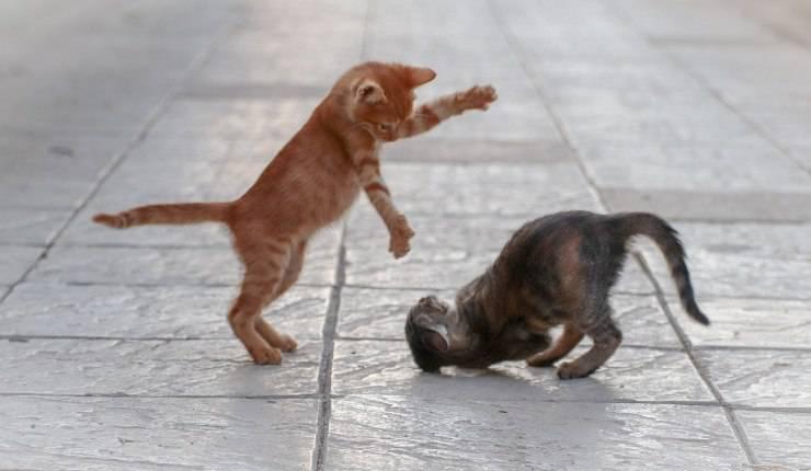 gattini che lottano