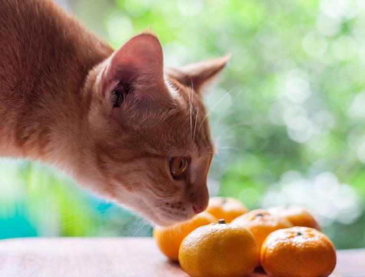 perché il gatto non sopporta l'odore degli agrumi