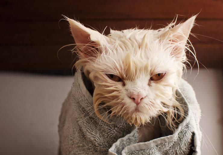 Lavare il gatto in casa (Foto AdobeStock)