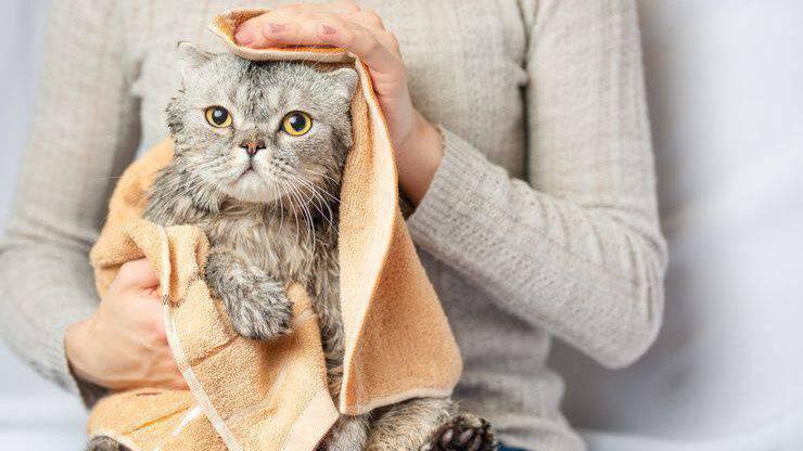 Gatto dopo il bagno