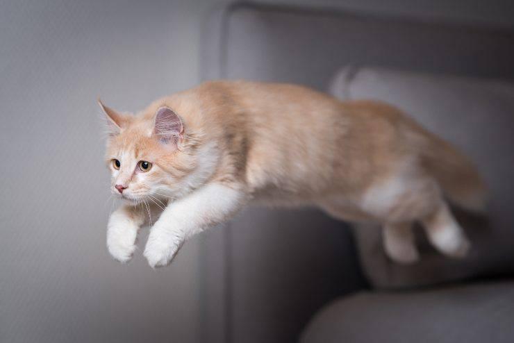 felino salta