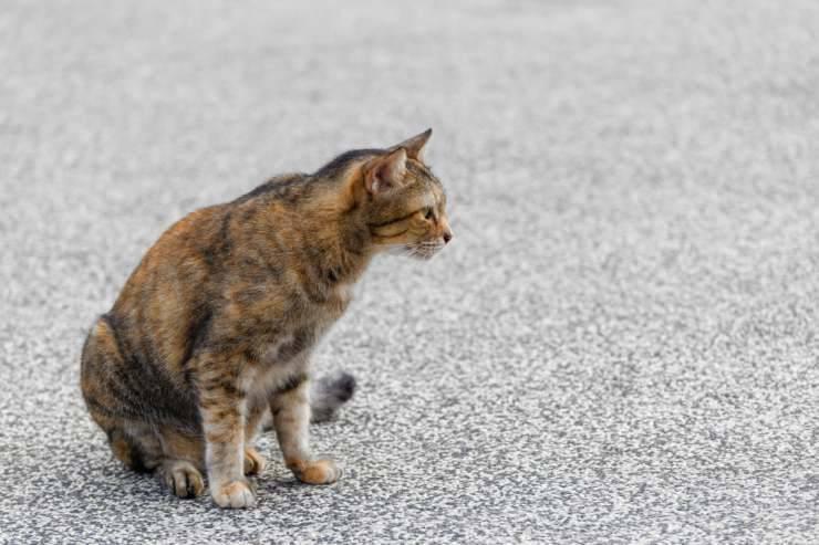 Il gatto striscia il sedere a terra