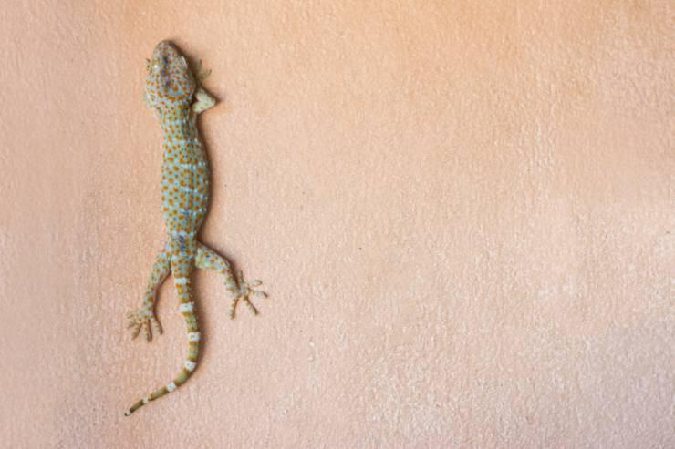Il geco non cande dal muro