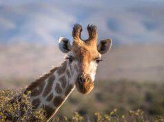 La giraffa (Foto pixabay)