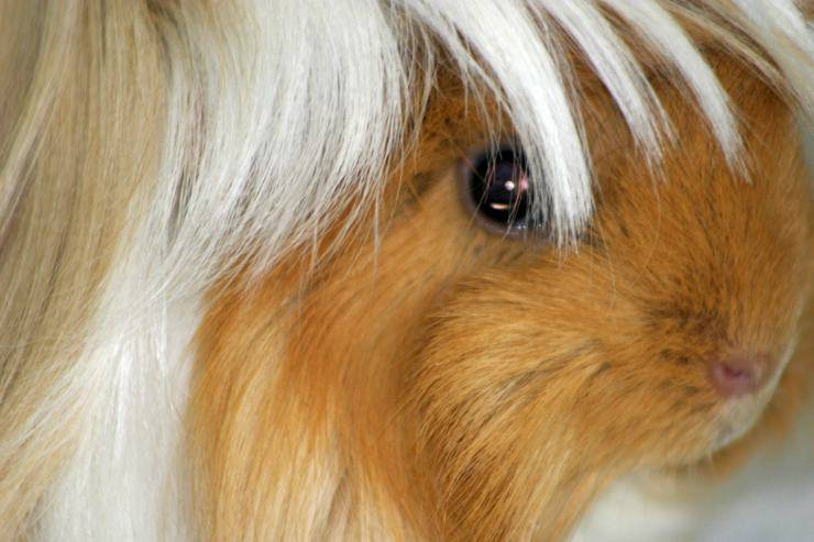 Cavia peruviana come animale domestico