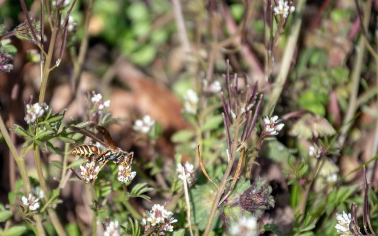 habitat vespe