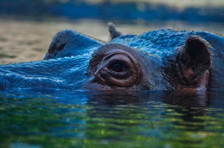 Hippo in acqua