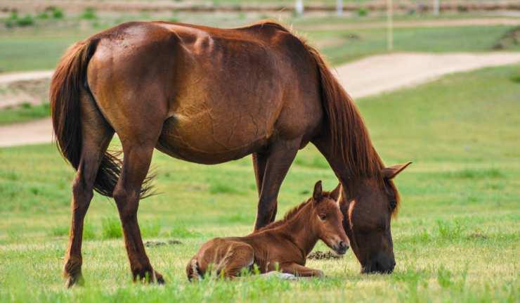 Un piccolo puledro e la sua mamma (Foto Pixabay)
