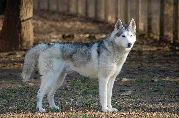 cane husky ucciso sicilia