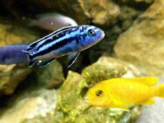 i pesci riconoscono il loro riflesso