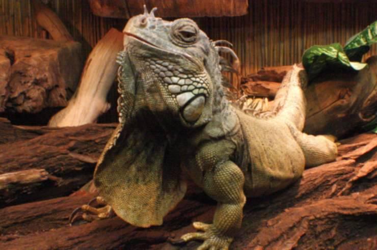 6 consigli sulla cura dell iguana
