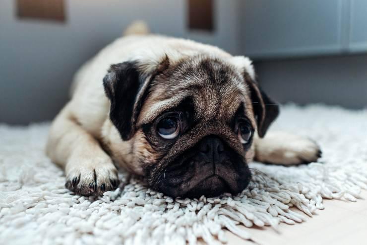 il cane si sente solo senza un altro cane