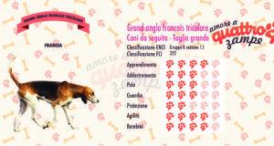 Grand anglo-francais tricolore scheda razza