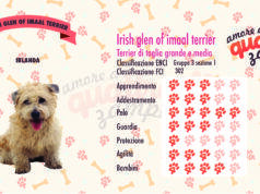 Irish glen of imaal terrier scheda razza