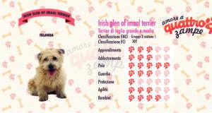 Irish glen of imaal terrier scheda razza