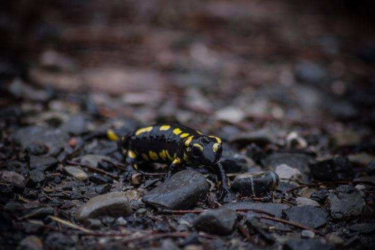 Curiosità sulla salamandra