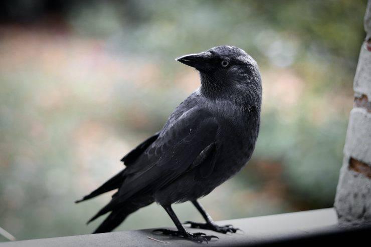 Un corvo per amico