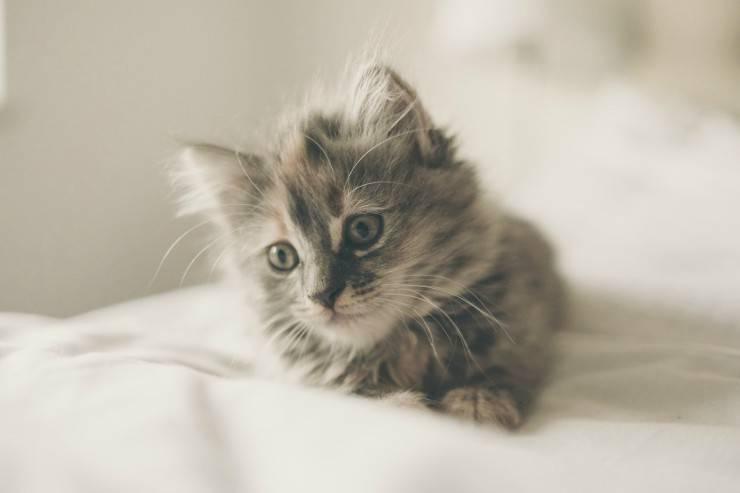 Nanismo del gatto
