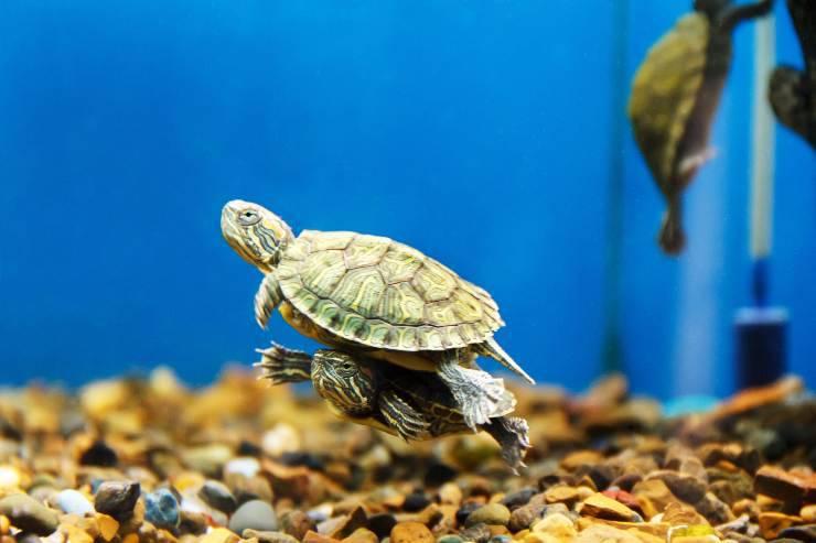 la tartaruga respira con il sedere