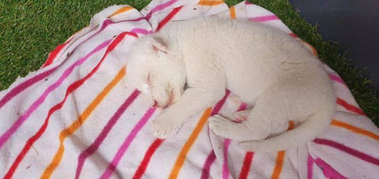 primo leone bianco Spagna