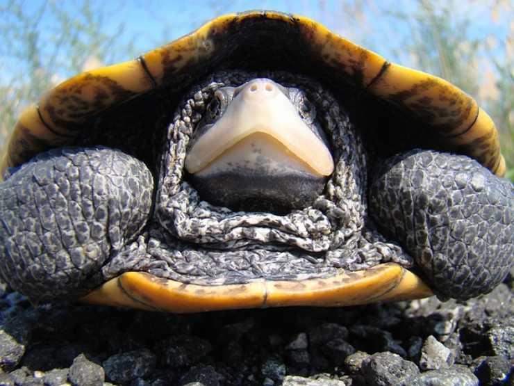 letargo tartaruga
