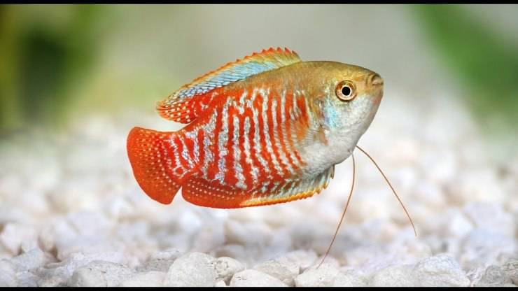 Pesci per un piccolo acquario