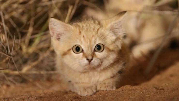 Gatti sabbia deserto