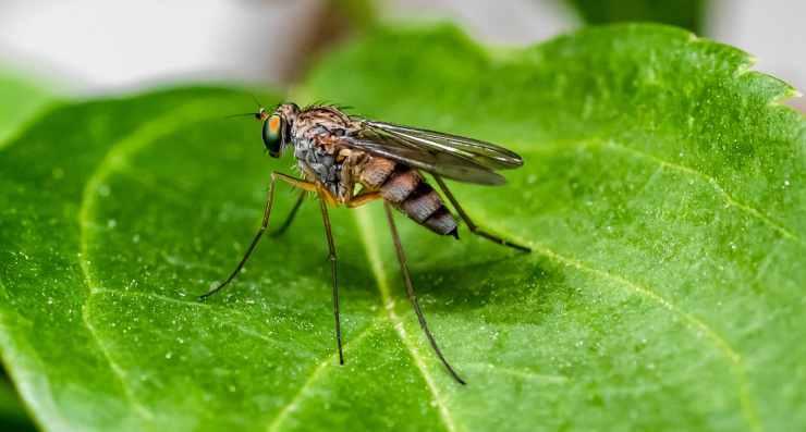 Zanzara sulla foglia (Foto Pixabay)