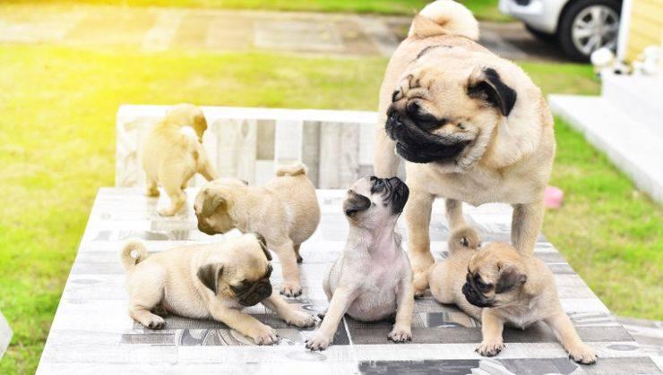 Istinto materno canino