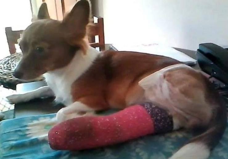 Amputata la zampa sbagliata a un piccolo cane