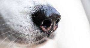 naso cane cola