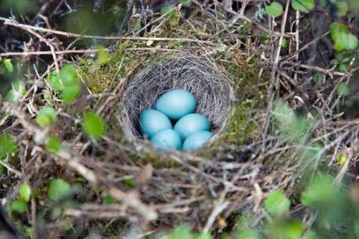 Uova di passera scopaiola
