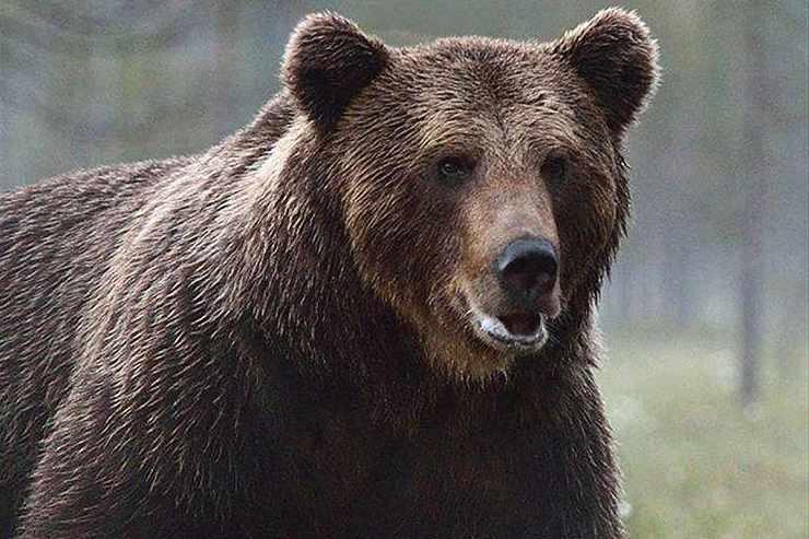 orso bruno abbattimento