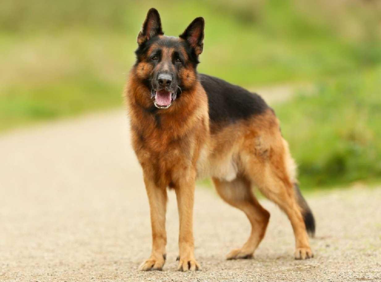 cane fuga