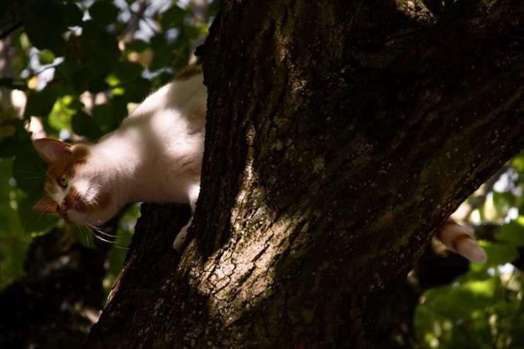 perché i gatti non sanno scendere dagli alberi
