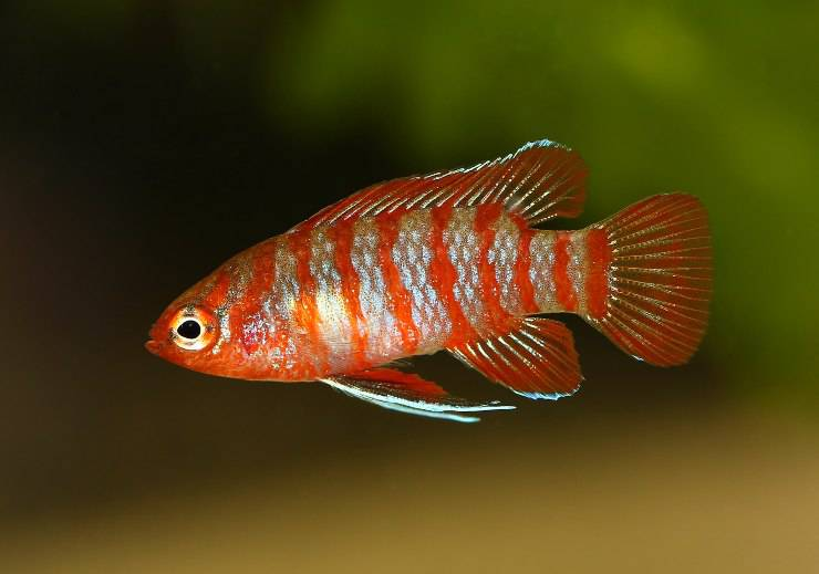 pesce badis