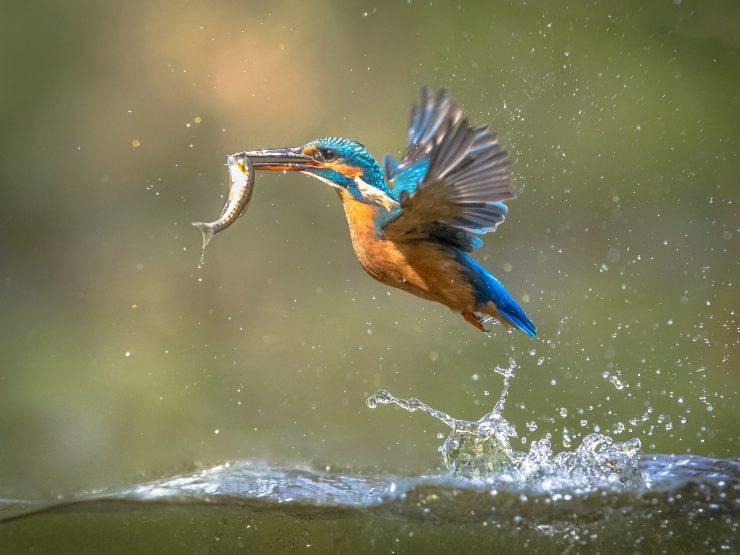 uccello che mangia pesce