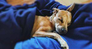 pitbull addormentato (Foto Pixabay)