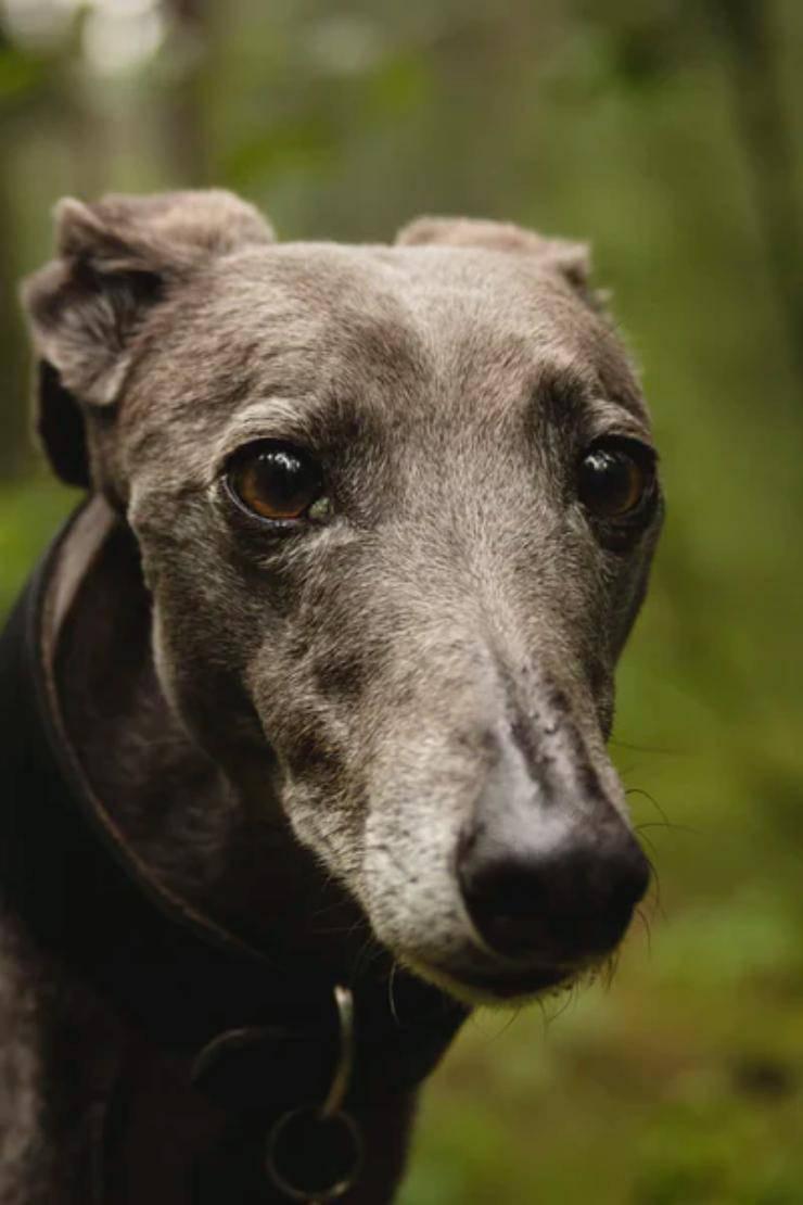 Greyhound adulto