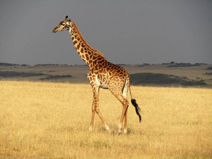 Giornata mondiale della giraffa 2020