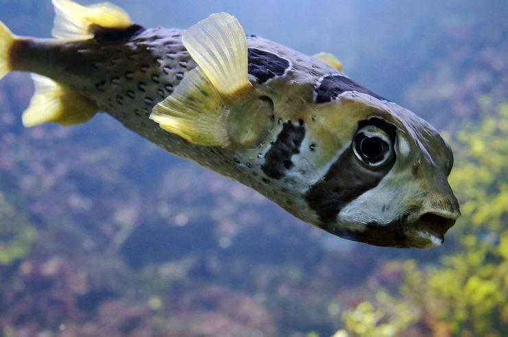Pesce palla si gonfia