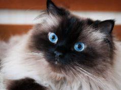 Razze di gatto con gli occhi azzurri
