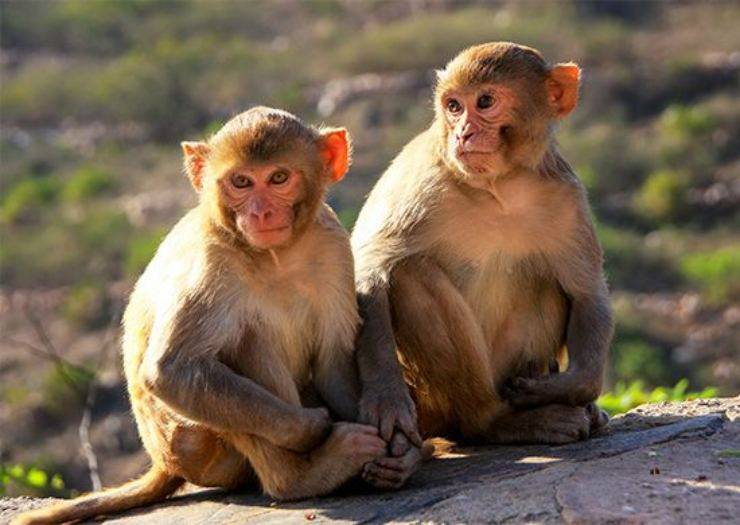 rhesus scimmia macaco